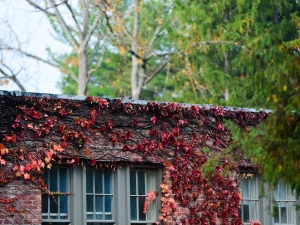 brick building covered in red ivy