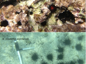 Betsy Sherman's research on Sea Urchins
