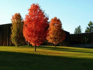 grass and red trees, campus in autumn