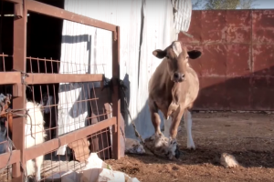 a tan cow hobbled to a white metal shed in afternoon light, a rusty gate with a fluffy goat in the foreground
