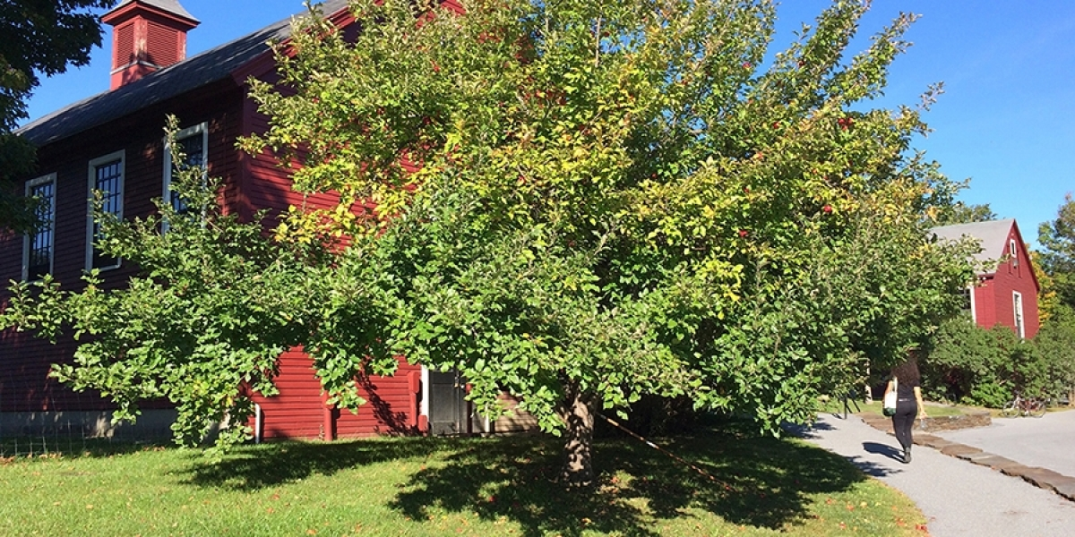 Apple tree in front of red barn