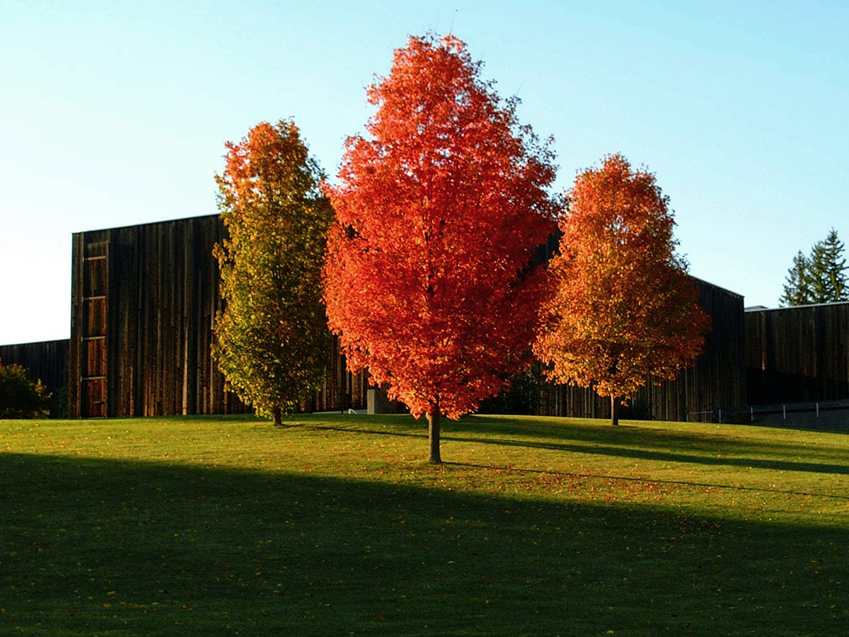 three trees that have turned bright red because of fall folliage